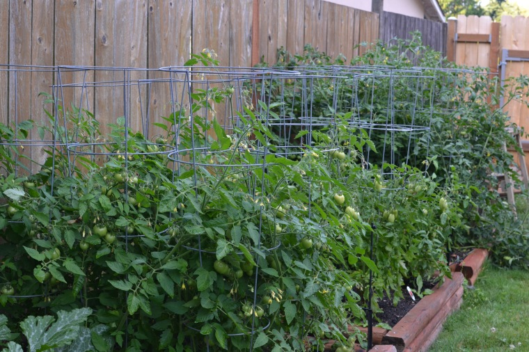 Lots of tomato plants!